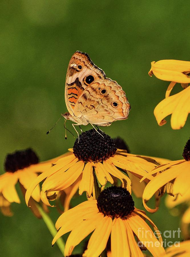 Common Buckeye On Black-eyed Susans by Cindy Treger