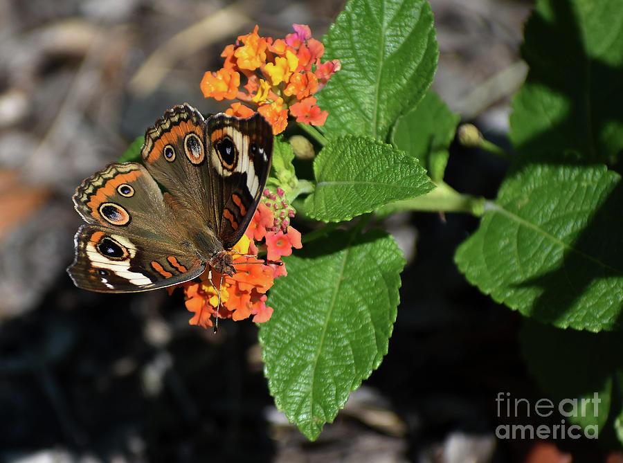 Common Buckeye Photograph