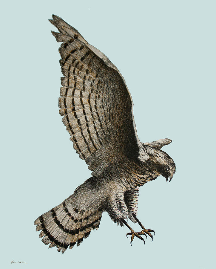 Sparrowhawk by Hans Egil Saele