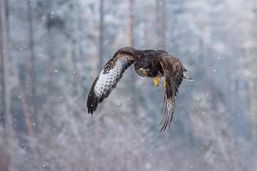 Bird Photograph - Common Buzzard by Jonas Kazlauskas