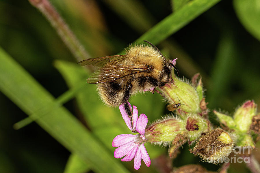 Common Carder Bee  by Brian Roscorla
