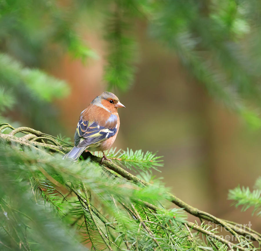 Common Chaffinch Photograph - Common Chaffinch Fringilla Coelebs by Louise Heusinkveld