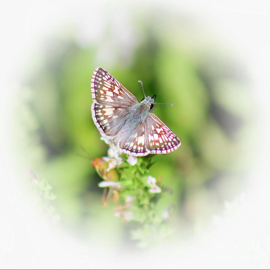 Common Checkered Skipper Butterfly  by Karen Adams