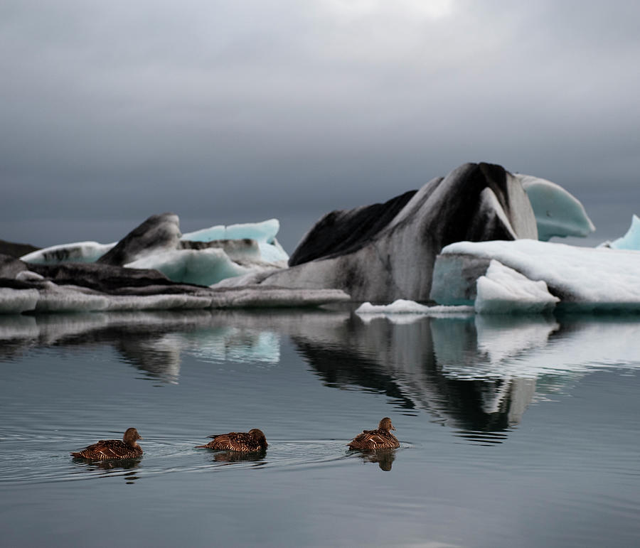 Common Eider, Iceberg In Fjord Photograph by Roine Magnusson