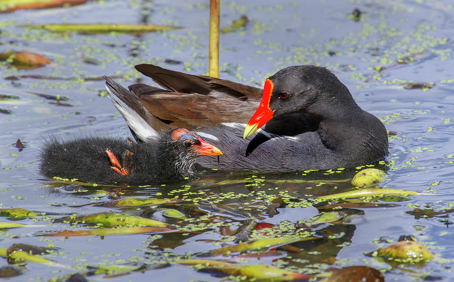 Animal Photograph - Common Gallinule With Chick by Ivan Kuzmin