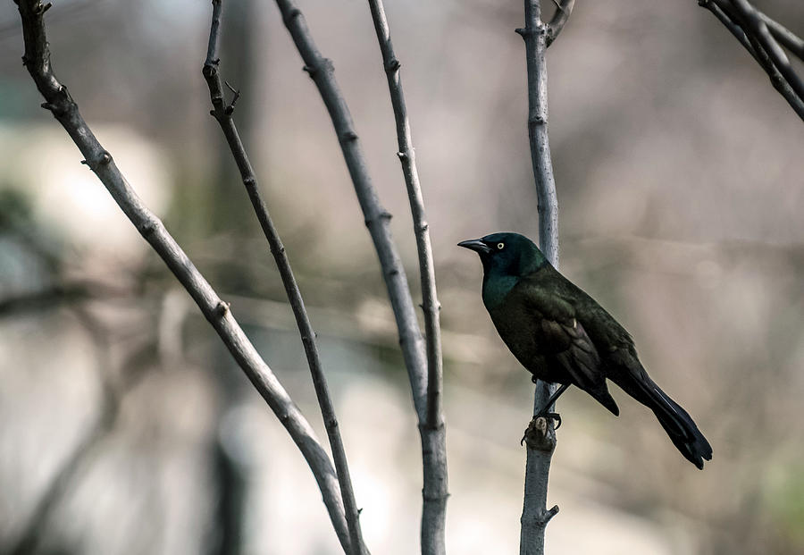 Common Grackle Photograph by By Ken Ilio