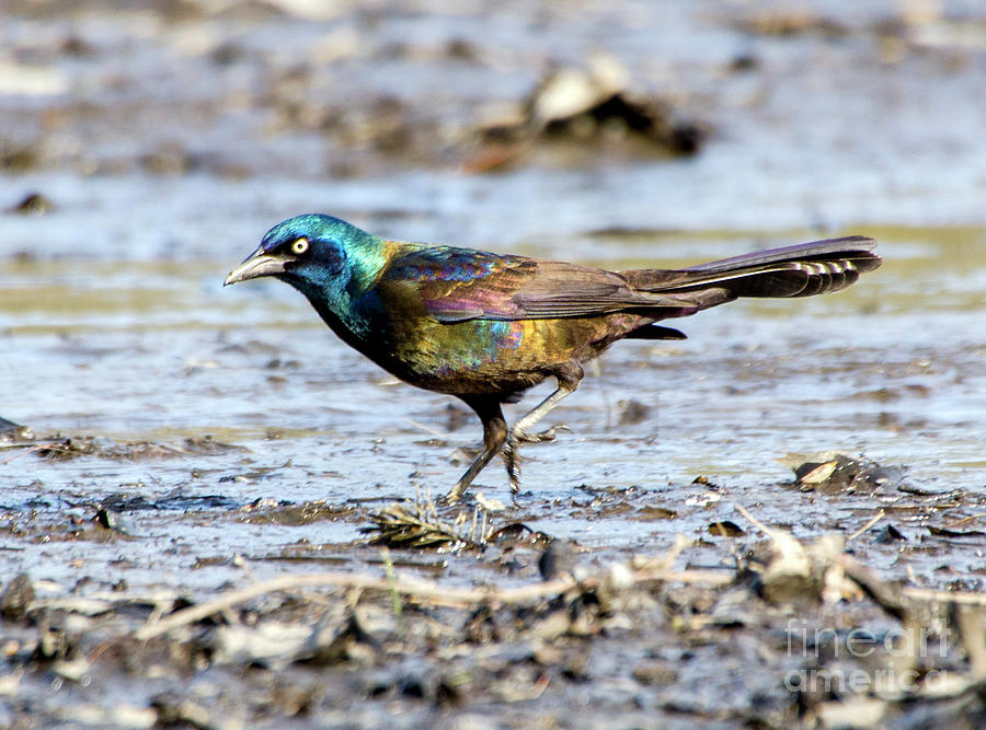 Common Grackle on Drained Rosemary Lake by Ilene Hoffman