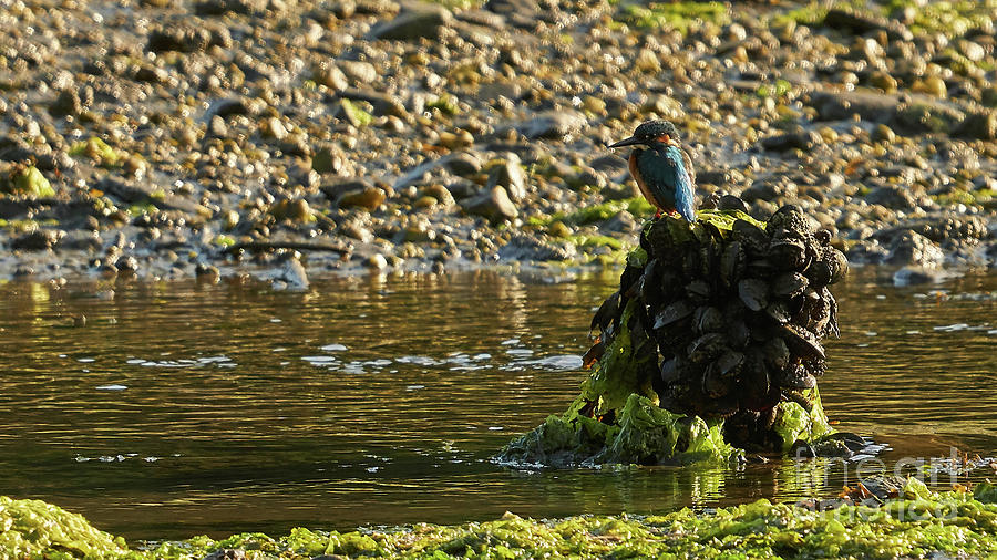 Common Kingfisher Alcedo Atthis Perched on Mussels Pile by Pablo Avanzini