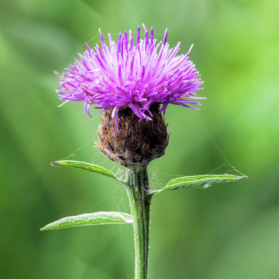 Knapweed Photograph - Common Knapweed 2 by Steev Stamford