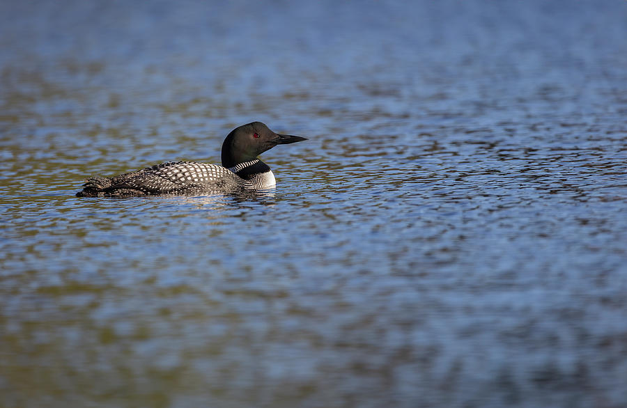 Common Loon 2019-2 by Thomas Young