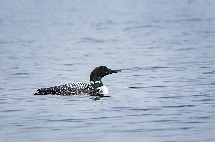 Common Loon by Susan McMenamin