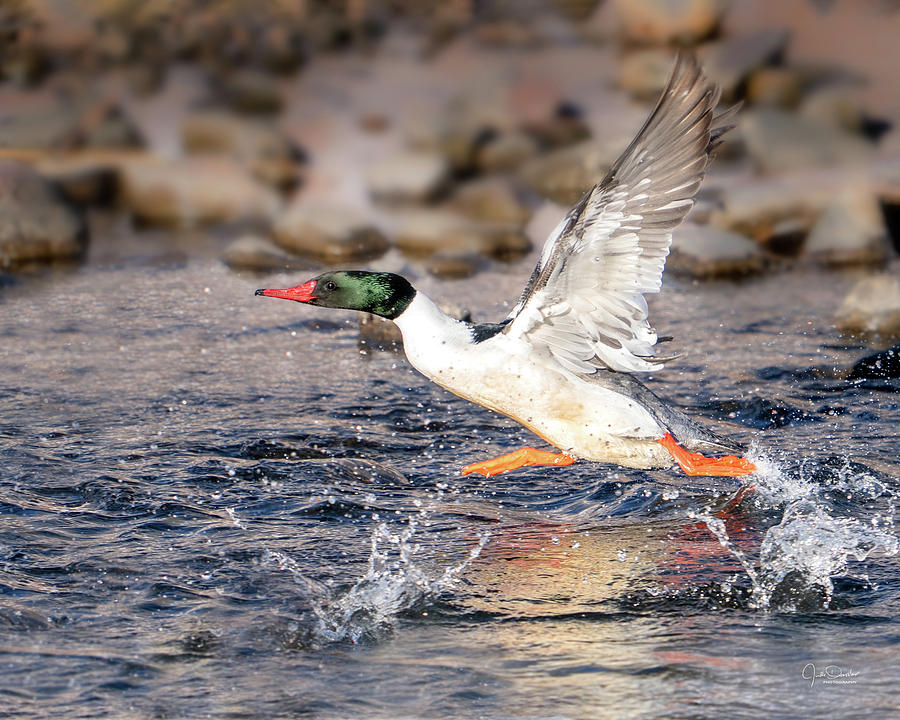 Common Merganser Taking Off by Judi Dressler