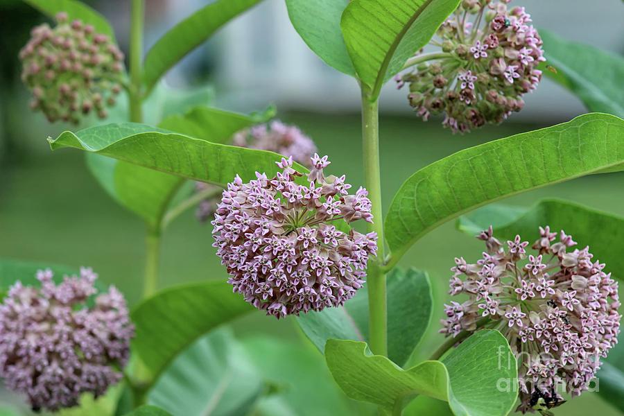 Common Milkweed by Karen Adams