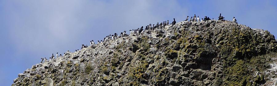 Coast Photograph - Common Murres And Pelagic Cormorant by Steve Estvanik