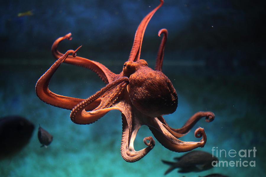 Octopus Photograph - Common Octopus Octopus Vulgaris by Vladimir Wrangel