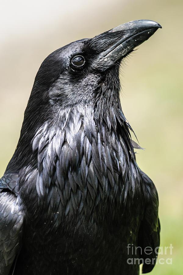 Beak Photograph - Common Raven, Jasper National Park by Bgsmith