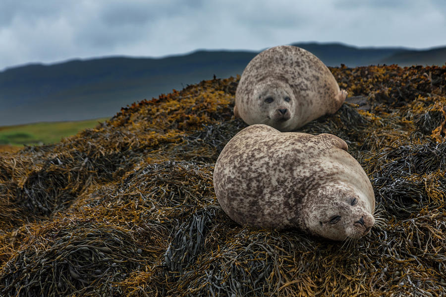 Common Seals, Loch Dunvegan, Isle Of Photograph by Diane Macdonald