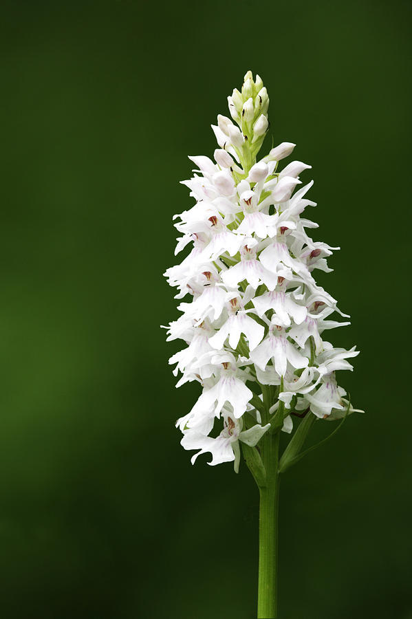 Common Spotted Orchid, Dactylorhiza Photograph by David Clapp