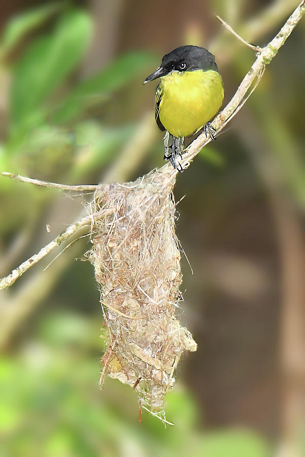 Common Tody-flycatcher at Nest by Alan Lenk