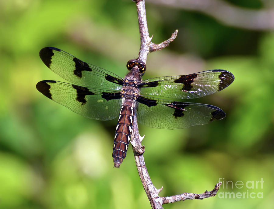 Common Whitetail Dragonfly - Female  by Kerri Farley