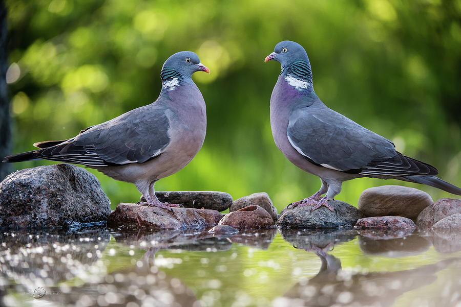 Common Wood Pigeons meeting at the waterhole by Torbjorn Swenelius