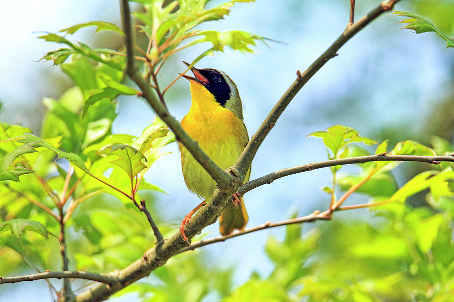 Recent Photograph - Common Yellowthroat Singing His Little Heart Out by Geraldine Scull