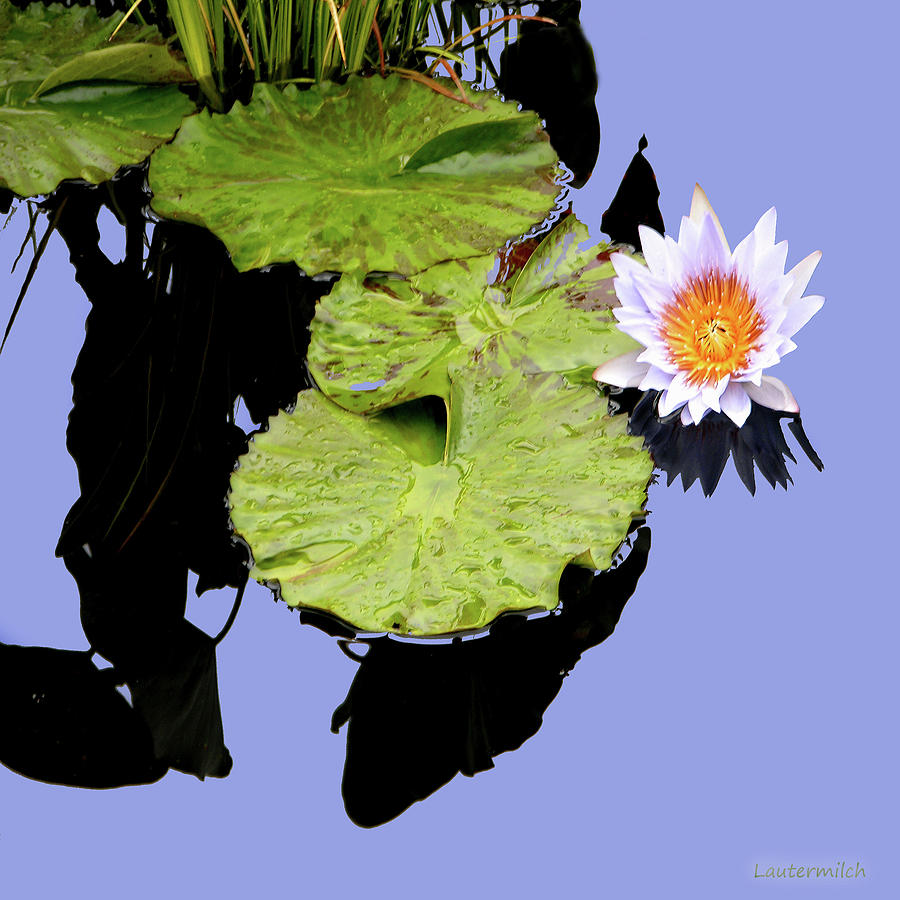 Water Lily Photograph - Composition with Water Lily by John Lautermilch