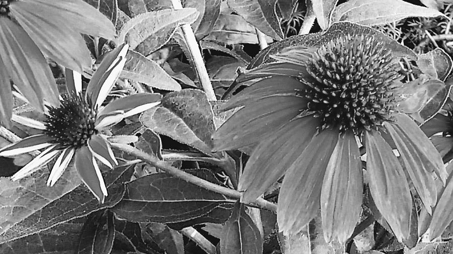 Cone Flowers Black and White by Kathy Barney