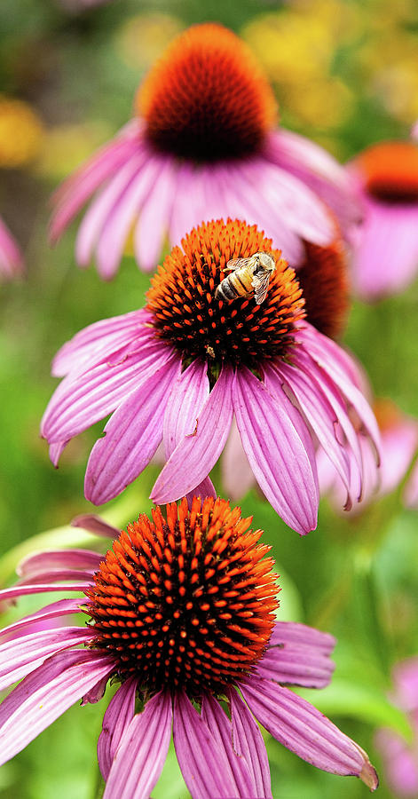 Cone Flowers with a Honey Bee by Dan Carmichael