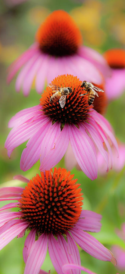 Cone Flowers with Two Honey Bees by Dan Carmichael