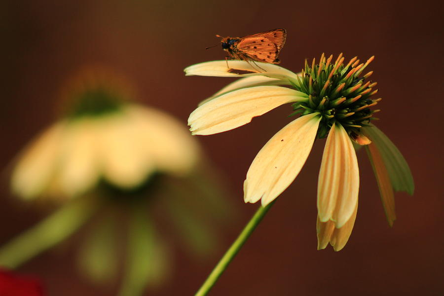 Coneflower and Friend by Kevin Wheeler