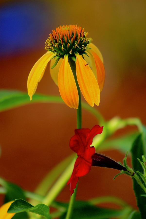 Coneflower by Kevin Wheeler