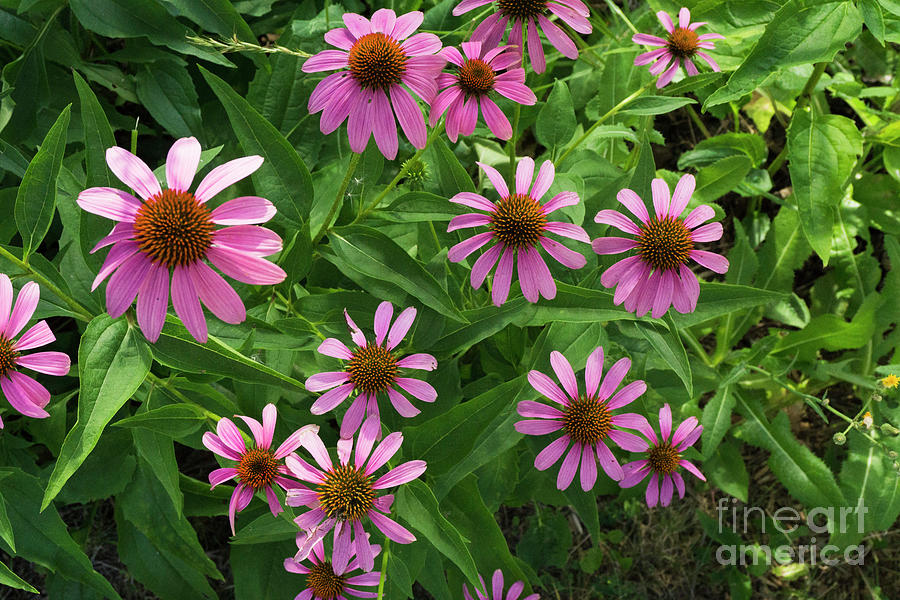 Coneflower patch by Randall Saltys