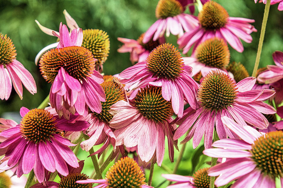 Atlanta Photograph - Coneflower by Randy Bayne