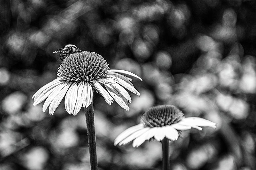 Atlanta Photograph - Coneflower With Bee Bw by Randy Bayne