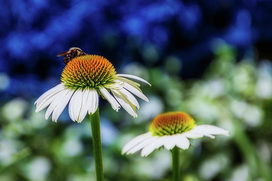 Coneflower with Bee by Randy Bayne