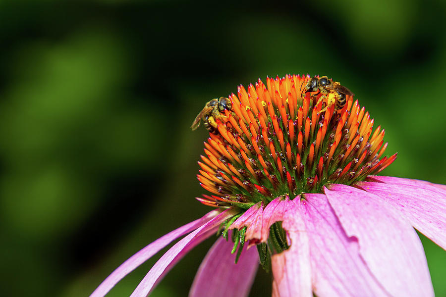 Coneflower with Bees by Randy Bayne