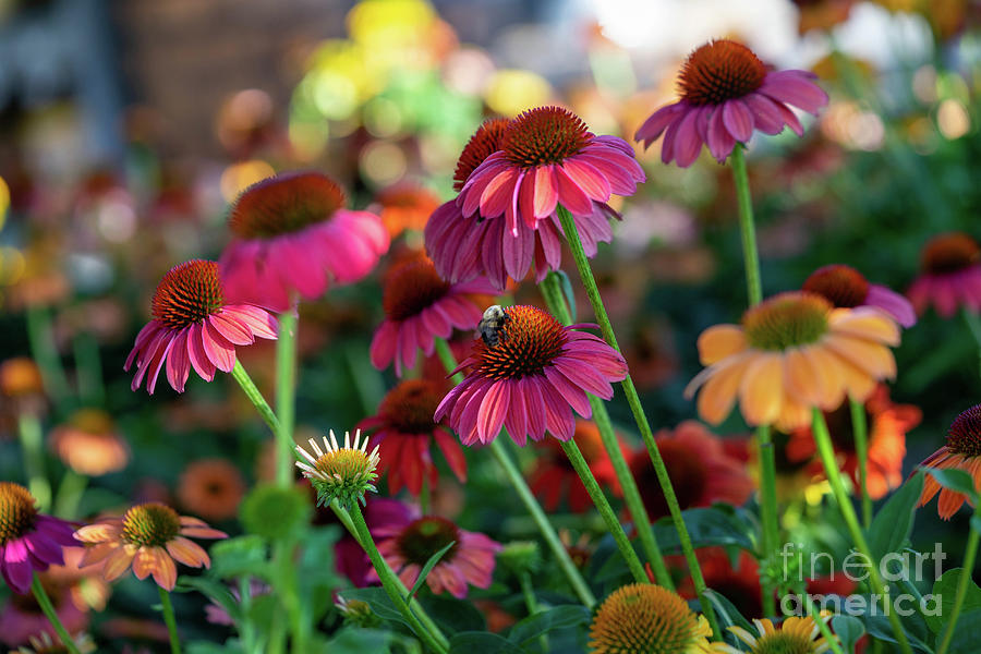 Coneflowers by Cathy Donohoue