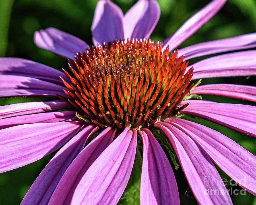 Coneflowers Morning Beauty Photograph
