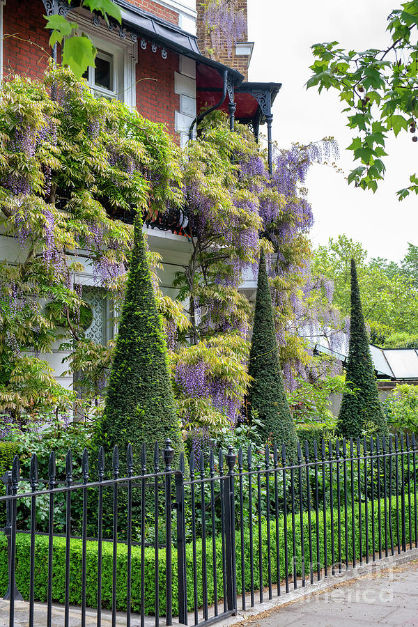 Conical Topiary and Wisteria in Cheyne Walk Chelsea by Tim Gainey