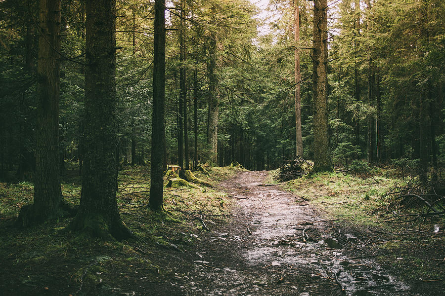 Coniferous Forest Path Photograph by Pati Photography