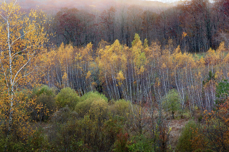 Connecticut Birches by Bill Wakeley