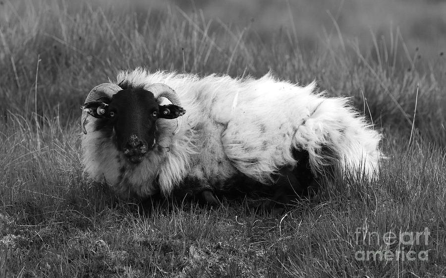 Connemara sheep mono by Peter Skelton