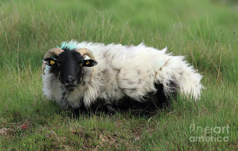Connemara sheep by Peter Skelton