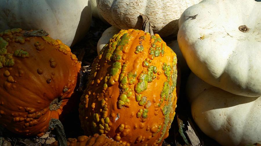 Contrasting Pumpkins Photograph