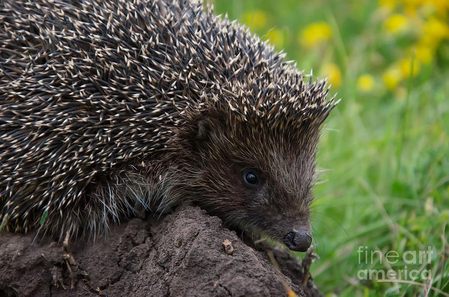 Small Photograph - Cool Hedgehog On The Ground At Nature by Valery Kalantay