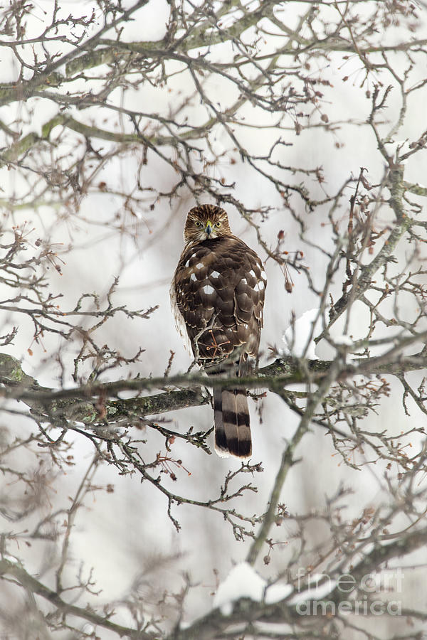 Cooper's Hawk In A Snowy Tree by Sharon McConnell