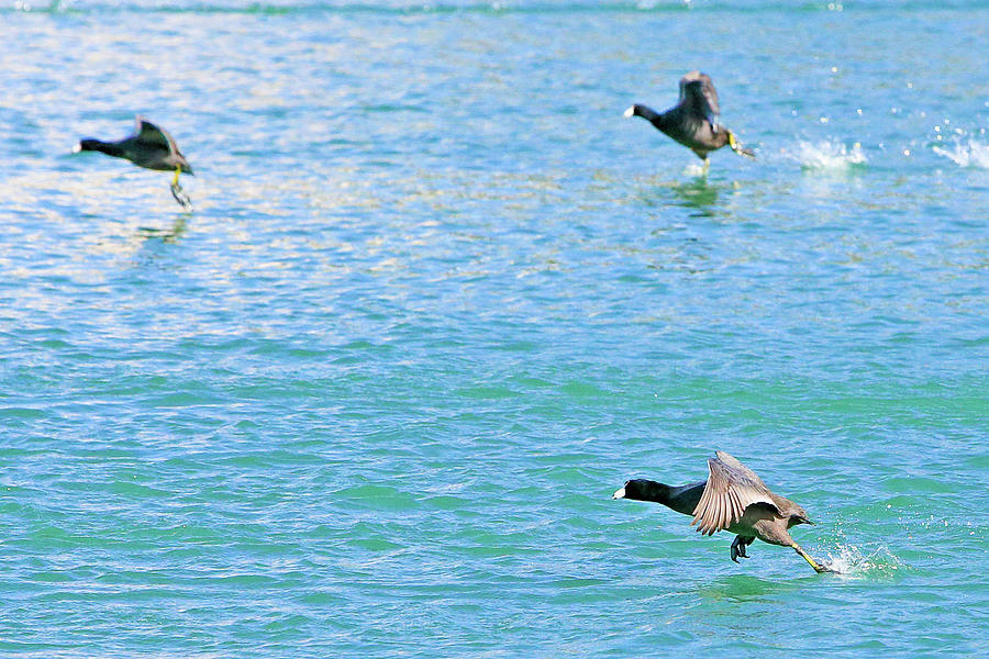 Coot Race by Shoal Hollingsworth