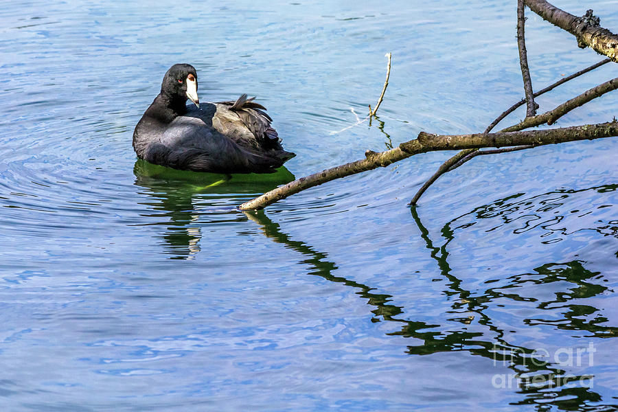 Coot with Branches by Kate Brown