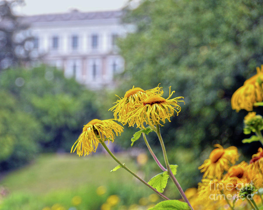 Copenhagen Sunflowers Photograph